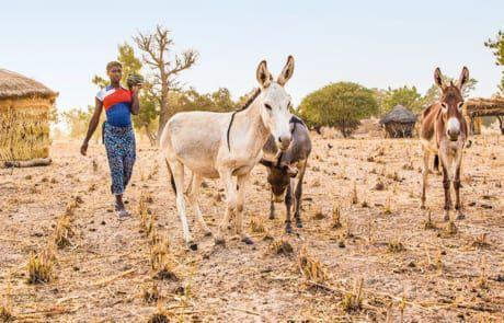 Esel am Feld in Burkina Faso