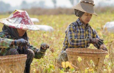 Frauen bei der Feldarbeit in Myanmar.