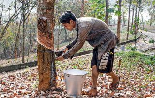Kautschukproduktion statt Abholzung - Die Franziskaner versuchen neue Wege zu gehen.