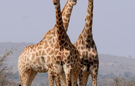 drei Giraffen